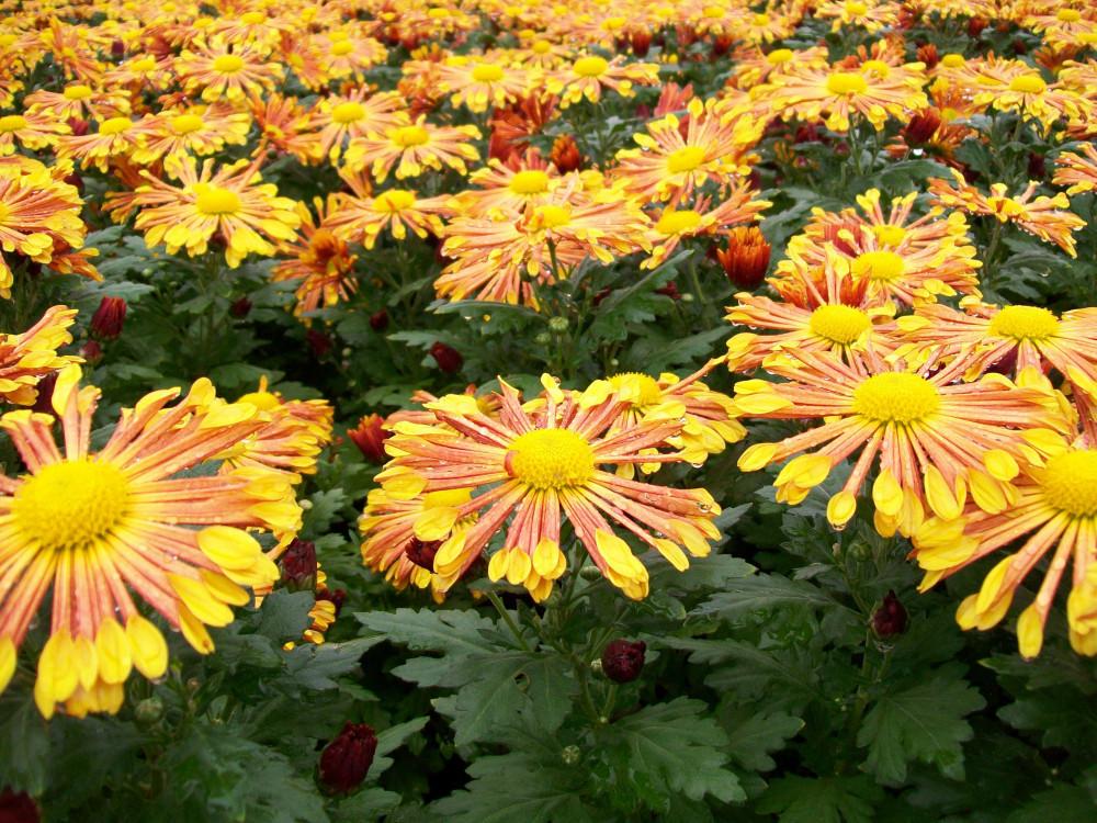 chrysanthemum living colour plants